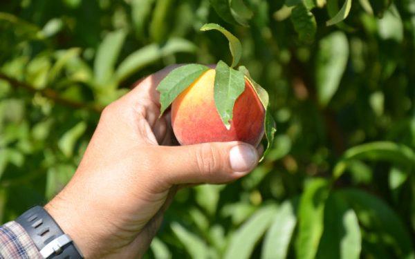 florida peach